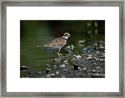 Killdeer  Framed Print by Douglas Stucky