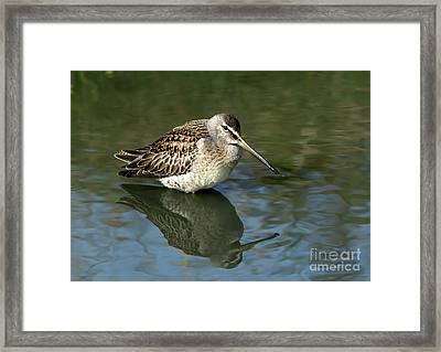 Framed Print featuring the photograph Short-billed Dowitcher by Sharon Talson