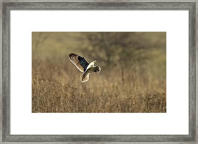 Short-eared Owl About To Strike Framed Print
