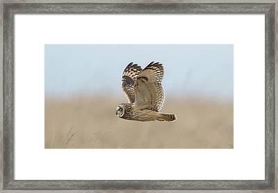 Short-eared Owl Hunting Framed Print