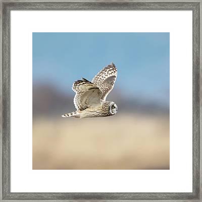 Short-eared Owl In Flight Framed Print