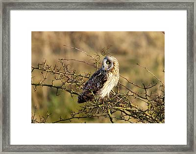 Short-eared Owl In Tree Framed Print