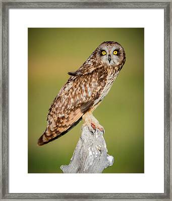 Short Eared Owl Framed Print
