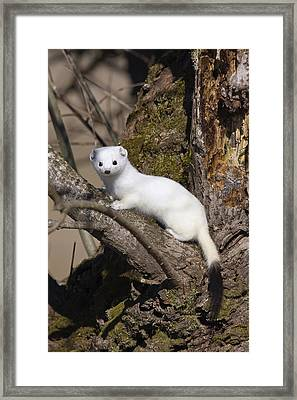 Short-tailed Weasel Mustela Erminea Framed Print by Konrad Wothe