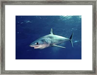 Shortfin Mako Sharks Framed Print by James R.D. Scott