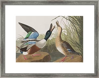 Shoveller Duck Framed Print