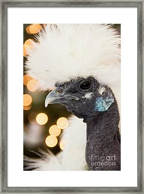 Showgirl A.k.a. Naked Neck Silkies Framed Print