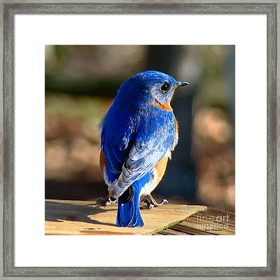 Showing Off My Beautiful Blue Feathers In The Sunlight Framed Print