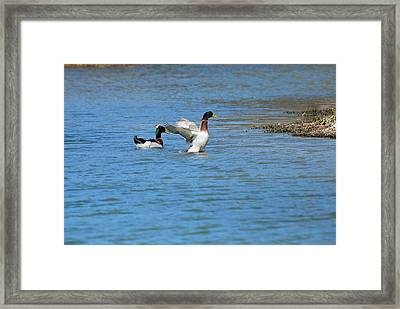 Framed Print featuring the photograph Showing Off by Teresa Blanton