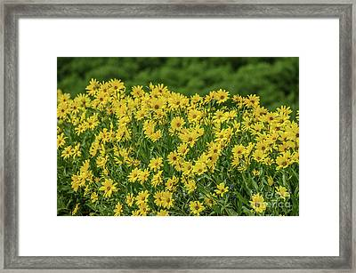Framed Print featuring the photograph Showy Goldeneye by Sue Smith
