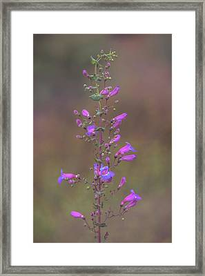 Framed Print featuring the photograph Showy Penstemon by Alexander Kunz