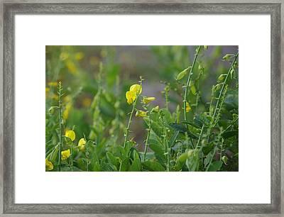 Showy Rattlebox Framed Print by Aaron Rushin