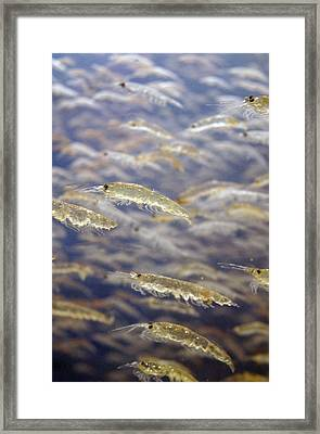 Shrimping Framed Print by Jez C Self