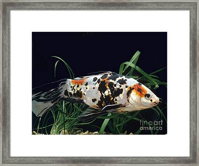 Shubunkin Goldfish Carassius Auratus Framed Print by Gerard Lacz