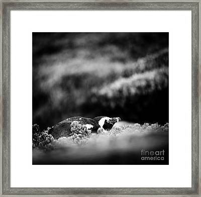 Framed Print featuring the photograph Shy African Penguin Black And White by Tim Hester
