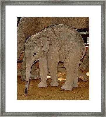 Shy Baby Elephant Framed Print