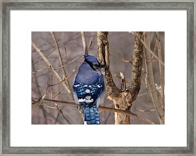 Shy Blue Jay  Framed Print by David Porteus