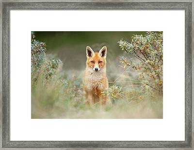 Shy Fox - Red Fox Hiding Behind The Bushes Framed Print by Roeselien Raimond