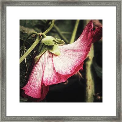 Framed Print featuring the photograph Shy Hollyhock by Karen Stahlros