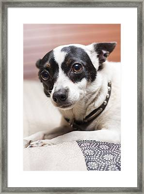 Shy Lonely Mini Fox Terrier Dog Laying On A Bed Framed Print by Jorgo Photography - Wall Art Gallery