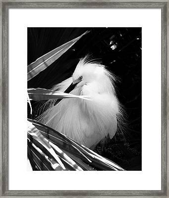 Shy Snowy Egret Framed Print