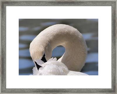 Framed Print featuring the photograph Shy Swan by Elaine Manley