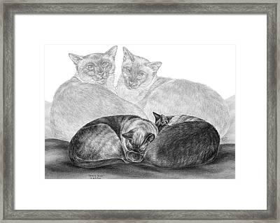 Siamese Cat Siesta Framed Print by Kelli Swan