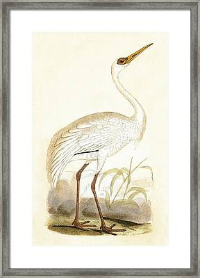 Siberian Crane Framed Print by English School