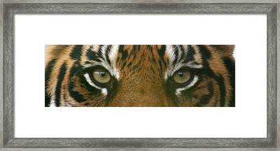 Siberian Eyes - Tiger Framed Print