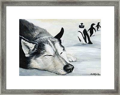Siberian Huskey Framed Print by Charlotte Yealey