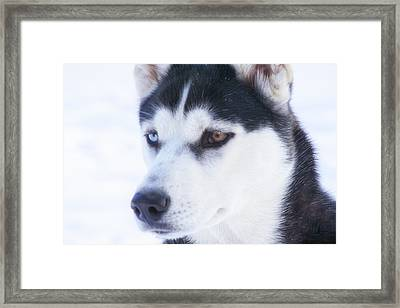 Siberian Huskey In Snow Framed Print by Christopher Purcell