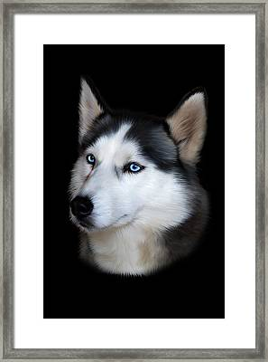 Siberian Husky Dog Framed Print by Julie L Hoddinott