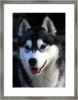 Siberian Husky Framed Print by Doug Mcrae
