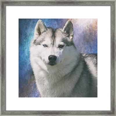 Siberian Husky Portrait Framed Print