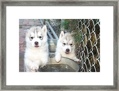 Siberian Husky Puppies Framed Print by Jean Gugliuzza