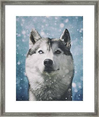 Siberian Husky With Snowflakes Framed Print by Wolf Shadow  Photography