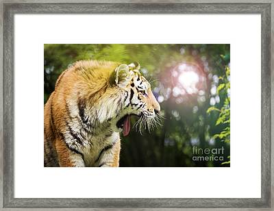 Siberian Tiger In Sunlit Forest Framed Print