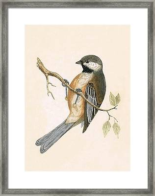 Siberian Tit Framed Print by English School
