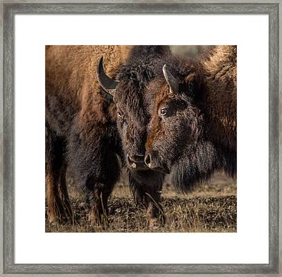 Siblings // Lamar Valley, Yellowstone National Park Framed Print by Nicholas Parker