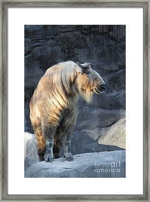 Sichuan Takin Framed Print
