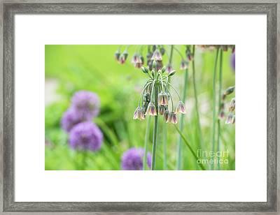 Sicilian Honey Garlic Flowers Framed Print