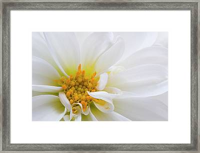 Side Dahlia Framed Print