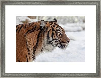 Side Portrait Of A Sumatran Tiger In The Snow Framed Print