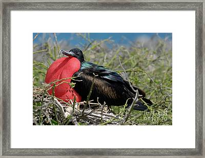 Side View Of Great Frigate Bird In Shrub Framed Print by Sami Sarkis