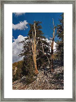 Framed Print featuring the painting Sierra Cedar by Larry Darnell