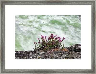 Sierra Penstemon And Whitewater Framed Print by Rick Pisio