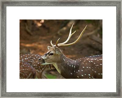 Framed Print featuring the photograph Sika Deer Chewing Grass by Chris Flees