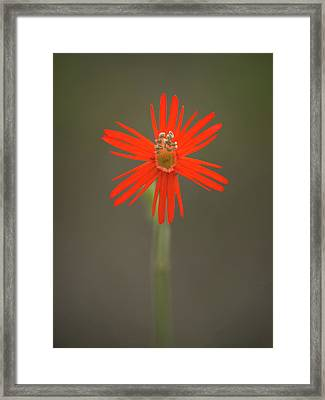 Framed Print featuring the photograph Silene Laciniata - Indian Pink by Alexander Kunz