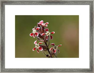 Framed Print featuring the photograph Silene by Richard Patmore
