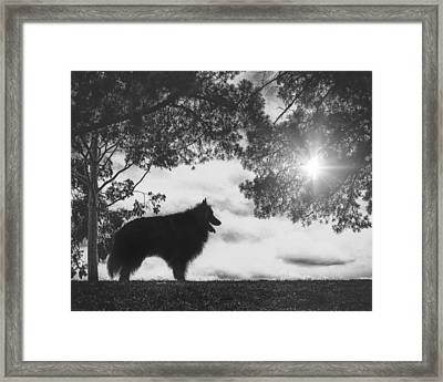 Silhouette Of A Belgian Sheepdog Framed Print by Wolf Shadow  Photography